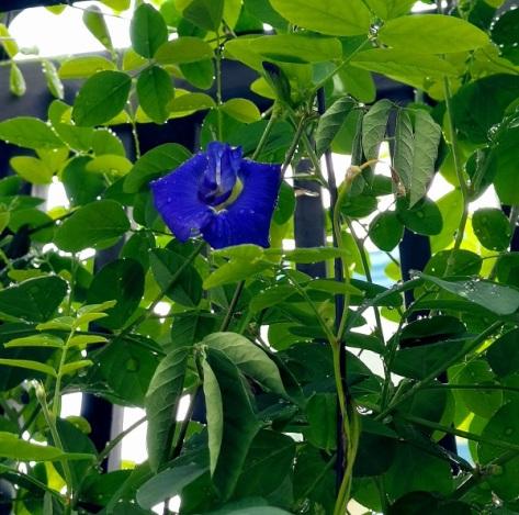 Hoa đậu biếc (màu xanh biếc)