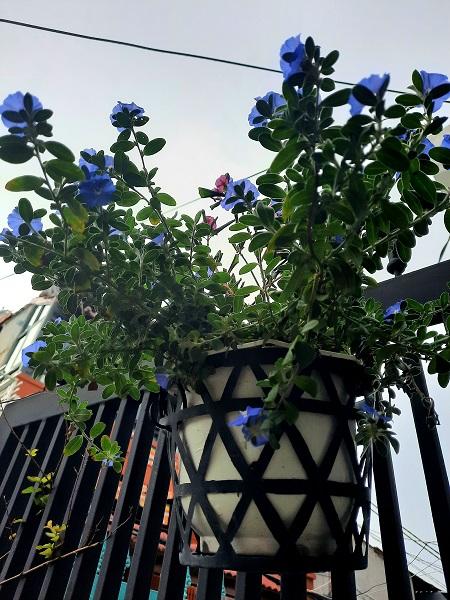 Hoa thanh tú (màu xanh tím)